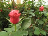 Rose exports from farming community in Kenya