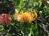 Spectacular Fynbos 'Pincushion' flower seen on Green Shoots AgriTour South Africa
