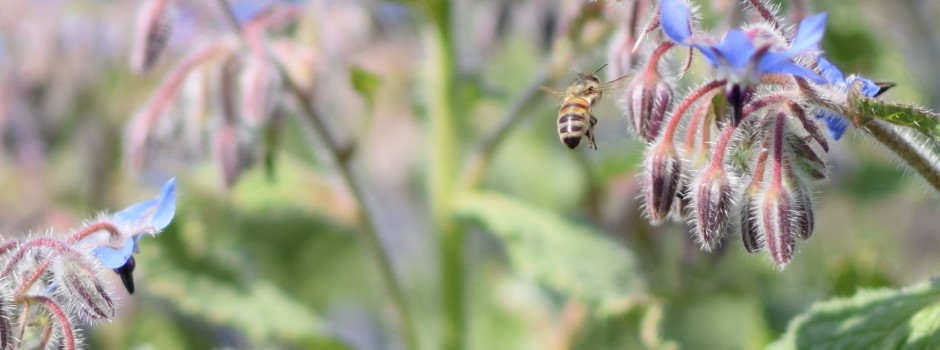 Borage and Honey Bee - Photograph by Pat Harvey at Green Shoots