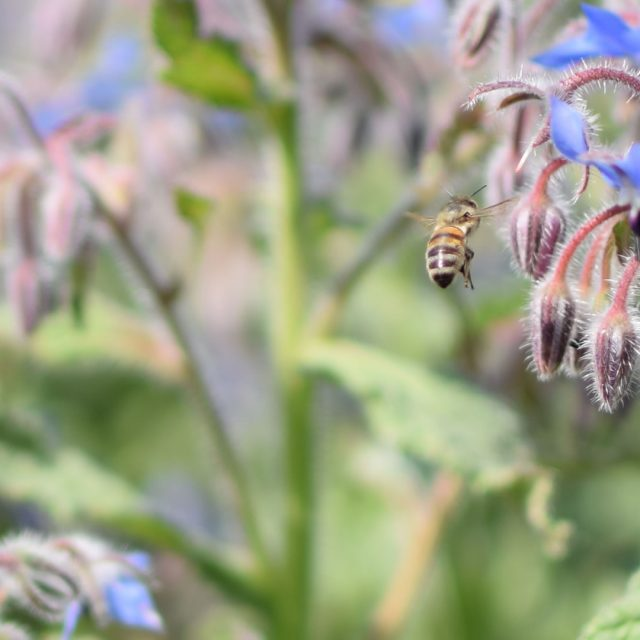 Borage and Honey Bee – Photograph by Pat Harvey at Green Shoots